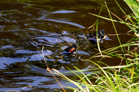 eared: Red-eared slider turtles in a garden pond in a Japanese garden.
