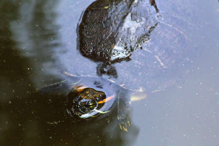 eared: A red-eared slider turtle in a garden pond in a Japanese garden. Stock Photo