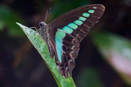 A common bluebottle butterfly rests on a leaf on a mountainside in Odawara, Japan Stock fotó - 84956459