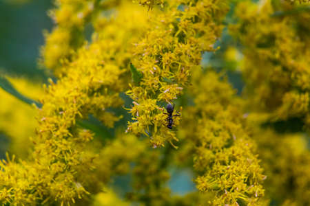 gigantea: An ant climbs bright yellow flowering weeds in an empty lot in Ayase, Japan