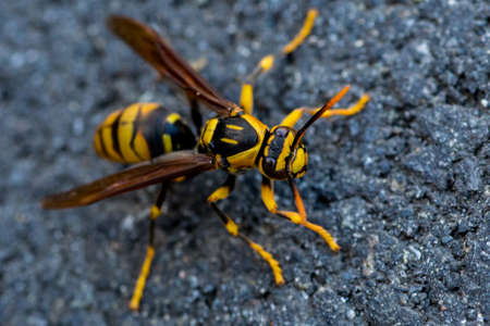 A wasp crawls along the sidewalk on a chilly November day in Japan.
