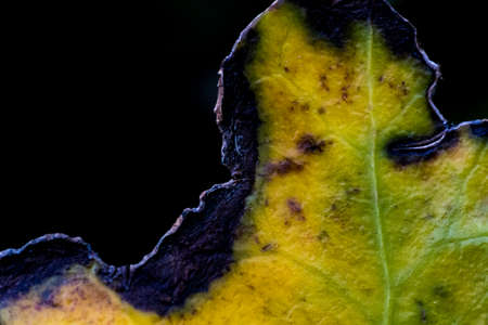 Macro shot of a dying leaf, eaten by insects and turning color in the fall. Stok Fotoğraf