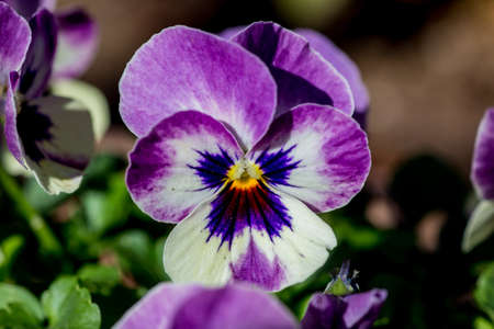 Violas bloom in a planter box in a small park in Yamato, Japan
