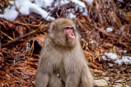 A male snow monkey sits unhappily after being rebuffed and yelled at by an unreceptive female.  These monkeys are the northern most non-human primates in the world Stock Photo