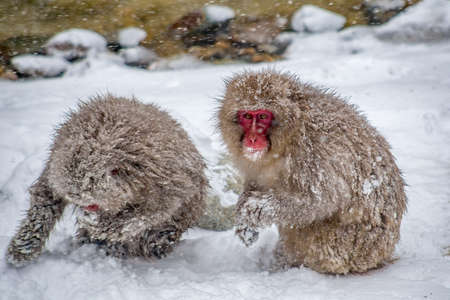 Adult Japanese Macaques eat grain spread by Japanese wardens to help them survive the harsh mountain winter.  These monkeys are the northern most non-human primates in the world
