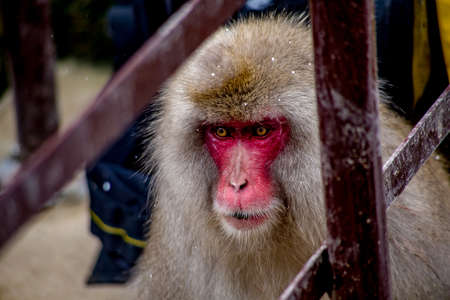 A Japanese Macaque sits beside a small metal stairway on a mountainside in Nagano, Japan.   These monkeys are the northern most non-human primates in the world