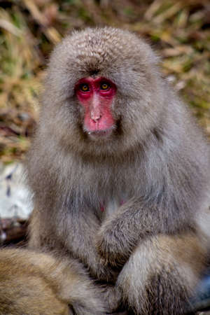 A portrait of an adult Japanese Macaque, or snow monkey.   These monkeys are the northern most non-human primates in the world
