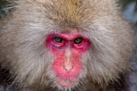 An adult Japanese Macaque, or snow monkey, stares into the camera while being groomed in a hot spring.  These monkeys are the northern most non-human primates in the world.