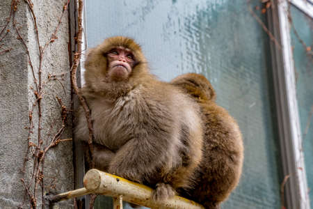 A pair of snow monkeys sit on a window railing outside a Japanese inn in Yamanouchi, Nagano.  The front monkey has no legs, and while it has some difficulty, it has adapted to its disability