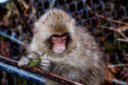 若い日本のマカク、または雪猿は、常緑の小枝と針を食べます。  冬になるとサルの食べ物が不足するので、噛むことができるものは何でも食べます