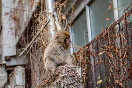 A young snow monkey sits on a wall behind an inn in Yamanouchi, Nagano, Japan.  The monkeys live in the mountains, but often come into the village to look for food.  These monkeys are the northern most non-human primates in the world Stock Photo