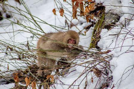 長野県の地獄谷猿公園の外で、日本のマカクやスノーサルが小さな緑色の枝を食べます。 冬になるとサルの食べ物が不足するので、噛むことができ