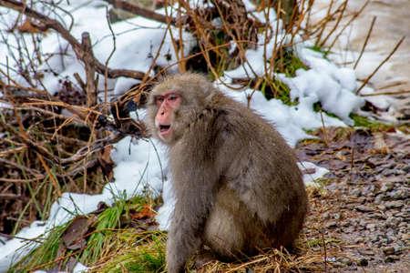 長野県山ノ内町の山道沿いに、有名な地獄谷モンキーパークの近くに位置する日本のマカク(スノーモンキー)。 これらのサルはまだ野生であり、彼 写真素材