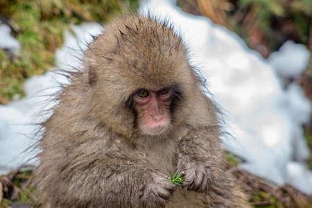 見つけられる小さな緑色のラッファーを食べながら、若い日本のマカクがカメラを見つめる。  冬になるとサルの食べ物が不足するので、噛むことが 写真素材