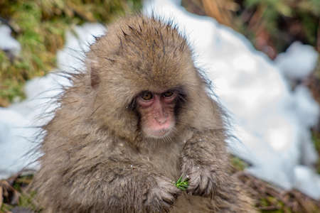 A young Japanese Macaque glances at the camera while eating the little green ruffage that can be found.   In winter, food becomes scarce for the monkeys, so they eat anything they can chew. Stock Photo