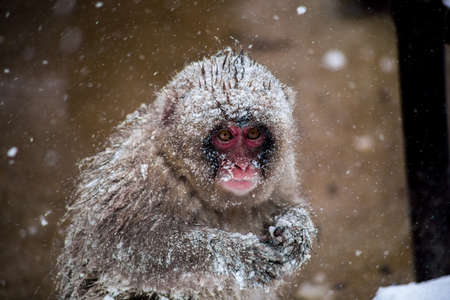 A young Japanese Macaque huddles in the cold of a heavy snow storm on a mountainside in Nagano, Japan.  These monkeys are the northern most non-human primates in the world Stock Photo
