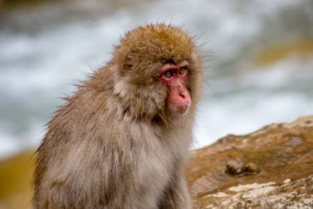 A Japanese Macaque, or snow monkey, sits on the edge of a natural hot spring in the mountains of Nagano, Japan.  These monkeys are the northern most non-human primates in the world