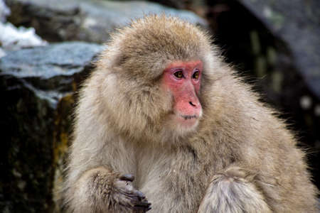 A Japanese Macaque, or Snow monkey.  These monkeys are the northern most non-human primates in the world.