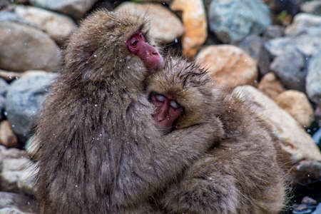 Two Japanese Macaques hug on a mountainside in Nagano, Japan for comfort and warmth.   These monkeys are the northern most non-human primates in the world