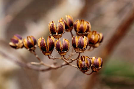 A macro shot of small, dry hibiscus seed pods on the branches of a tree in late winter Stock Photo