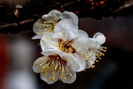 A macro shot of a white plum blossom in late February in Japan. Plums are one of the first fruit trees to bloom in Japan, signaling the coming spring.