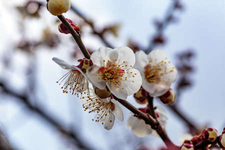 White plum blossoms fill the trees in late February in Japan. Plums are one of the first fruit trees to bloom in Japan, signaling the coming spring.
