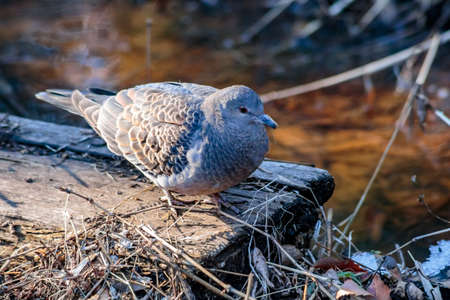 A small turtle dove looks for food in the forest after a recent snow in Zama, Japan. Stock Photo