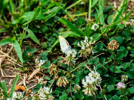 A small white cabbage butterfly feeds on small flowers in a small roadside park in central Kanagawa Prefecture, Japan Foto de archivo