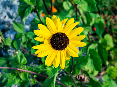 A black eyed susan flower, a cousin to the much larger sunflower, blooms in a park in central Kanagawa Prefecture, Japan.