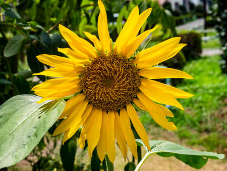 A large sunflower blooms in a small park in central Kanagawa Prefecture, Japan