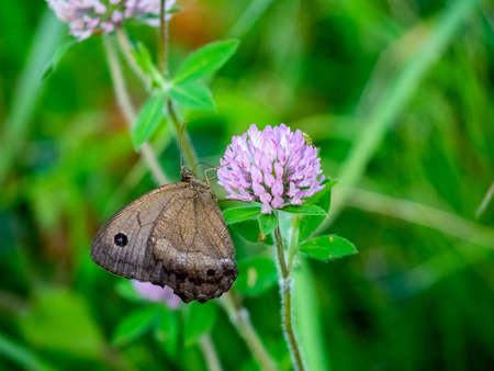 A brown common wood-nymph butterfly feeds from clover flowers in a park in central Kanagawa Prefecture, Japan