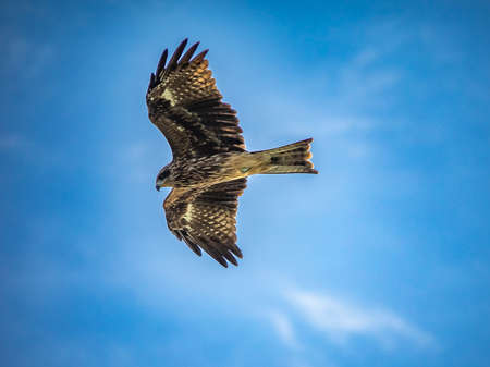 A Japanese black kite circles over the Sagami River near Ebina, Kanagawa Prefecure, Japan. These birds of prey are aggressive and are known to steal food out of people's hands on local beaches.