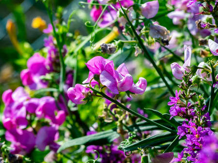wild large sweet pea flowers bloom along a river in central Kanagawa, Japan. Banco de Imagens