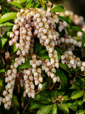 strings of tiny Japanese andromeda flowers hang in full bloom from a bush along the side of a hiking path in central Kanagawa Prefecture.