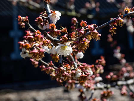 The last few ume blossoms, or Japanese plum blossoms, are open among the empty, fallen remains of their neighbors.