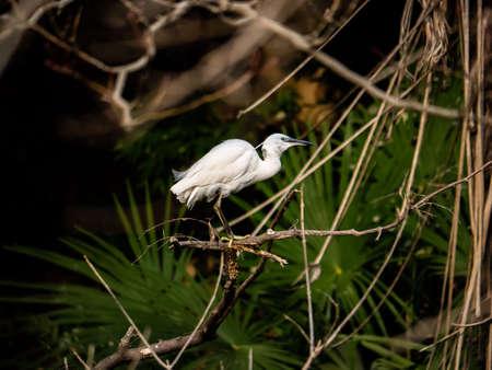 A Japanese little egret, Egretta garzetta, or kosagi in Japanese, wades in a river in Yamato, Kanagawa, Japan.
