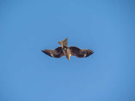 A Japanese black kite circles over the beaches of Fujisawa on the Sagami Bay. In Japan, these large hawk-like birds are notorious for stealing food from beach goers. 스톡 콘텐츠
