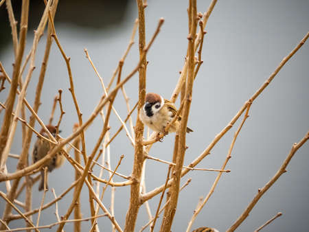 Small sparrows perch in a bare tree on a winter's afternoon near Yokohama, Japan. Stock Photo
