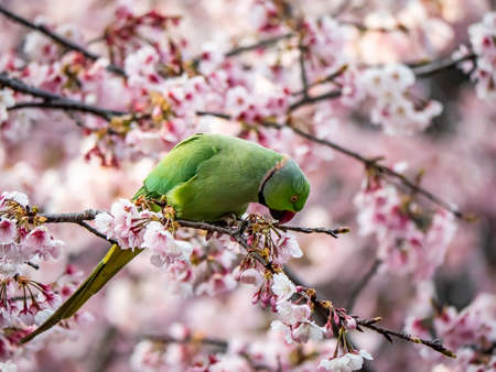 A rose ringed parakeet eats Japanese cherry blossoms, or sakura, in a cherry tree in Izumi no Mori (Izumi Forest Park). These parakeets are not native to Japan, but since they became popular as pets in the 1960s, numerous of these bright colored birds have been released and taken up residence in and around several major cities.
