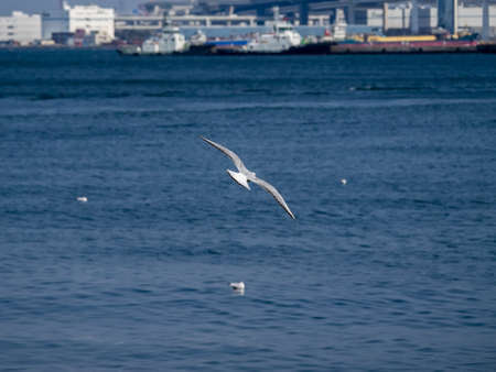 A black-tailed gull flies above Tokyo Bay on the Yokohama waterfront near Yamashita park. In Japanese, these plentiful and popular birds are often called umineko (海猫), or sea cat, for their distinct cry.