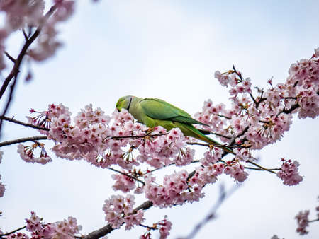A rose ringed parakeet eats Japanese cherry blossoms, or sakura, in a cherry tree in Izumi no Mori (Izumi Forest Park). These parakeets are not native to Japan, but since they became popular as pets in the 1960s, numerous of these bright colored birds have been released and taken up residence in and around several major cities. Reklamní fotografie