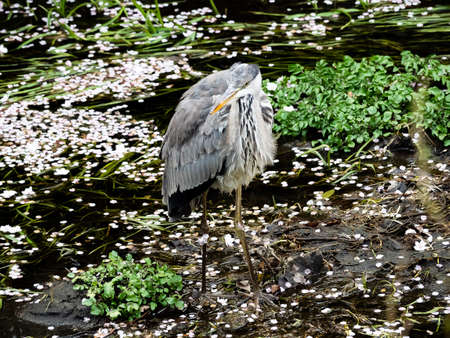 A grey heron wades in a Japanese river while fishing. Found worldwide, grey herons are a common sight in Japanese rivers and wetlands - even those found in cities.