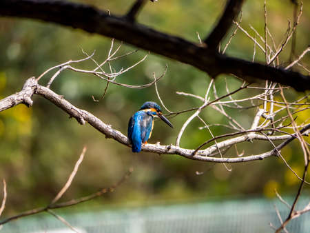 A common kingfisher, Alcedo atthis bengalensis, perches on a branch overlooking its fishing pond. The Bengalensis subspecies is native to Japan and is known for having brighter colors than the European types. 免版税图像