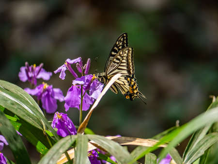 An Asian swallowtail butterfly, Papilio xuthus, feeds from annual honesty flowers along a small wetland in a Japanese forest preserve. Foto de archivo