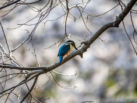 A common kingfisher, Alcedo atthis bengalensis, perches on a branch overlooking its fishing pond. The Bengalensis subspecies is native to Japan and is known for having brighter colors than the European types. Stock Photo
