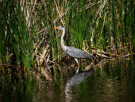 A gray heron wades through a shallow pond in Yamato, Japan on a fine late spring day.