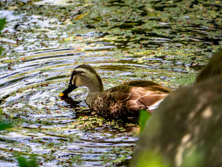 A Japanese spot-billed duck floats on a small garden pond in a Japanese park.