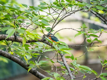 A common kingfisher, Alcedo atthis bengalensis, perches on a tree branch above a pond in a small Japanese park. 免版税图像