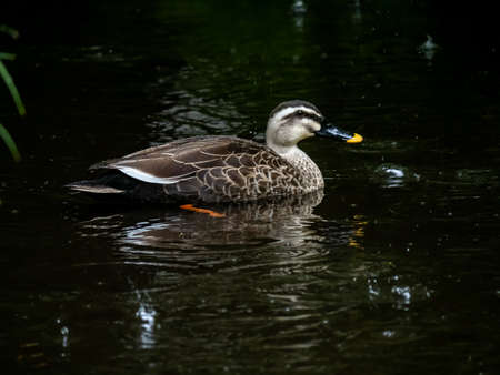 A spotbilled duck rests in a small, shallow pond in a forest during a rainstorm in Yamato, Japan.