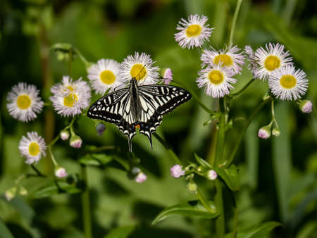 A Chinese yellow Swallowtail butterfly, Papilio xuthus, feeds from white wildflowers in Yokohama, Japan.